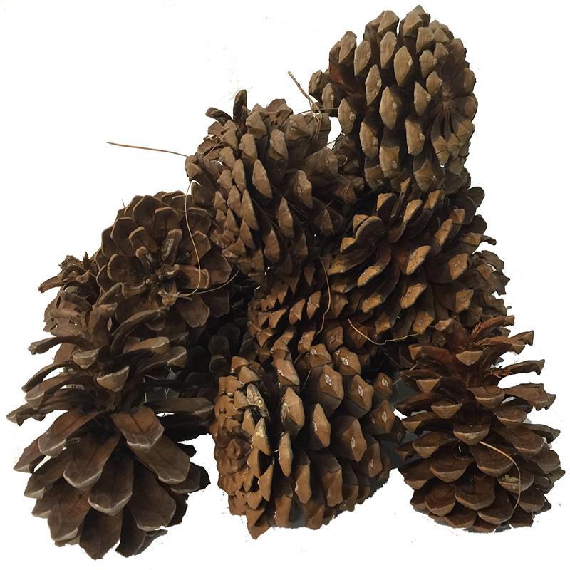 Las Pinas Kanarische Kiefernzapfen Zapfen 1,5kg Bio Anzünder Kaminanzünder